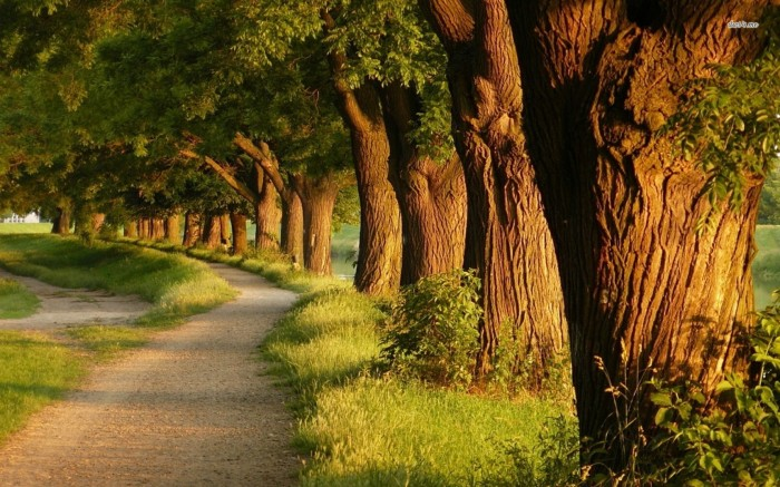 15769-row-of-trees-1680x1050-nature-wallpaper